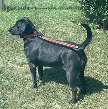 A black Labrador Retriever is standing in grass and looking to the left with its tail up.