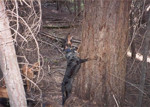 A black with brown and grey merle-colored Leopard Cur dog is jumping up against the side of a tree barking.