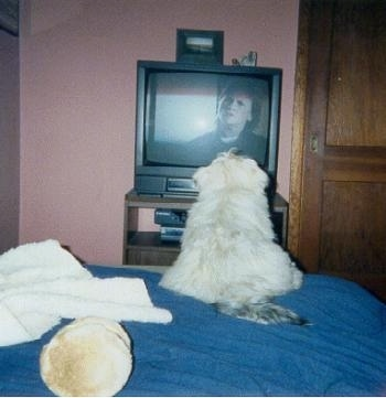 Quigley the Lhasa Apso Puppy is laying at the edge of a bed and watching a TV