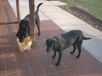 A black Labrador Retriever is drinking water out of a yellow bucket on a porch. There is another dog standing on a porch and looking forward