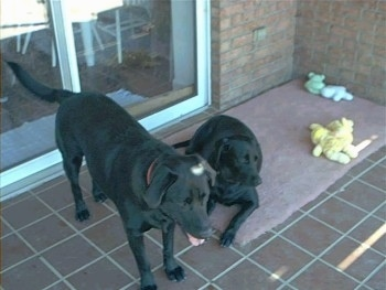 A black Labrador Retriever is laying on a rug on a back porch in front of a sliding glass door of a house. The rug has toys on it. There is another black Labrador Retriever standing on the porch and has its mouth open and tongue out