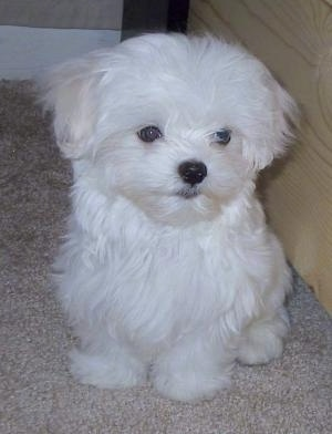 A long, soft coated, white Maltese puppy is sitting next to a wooden frame. It is looking down and slightly to the left. It looks like a stuffed toy.
