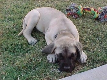 A tan with black English Mastiff puppy is laying in grass and there is a rope toy behind it.