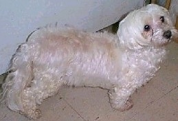 View from the top looking down - A fluffy, white Malti-poo is standing on a tan tiled floor next to a white wall looking up and to the right.