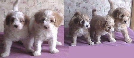 A litter of Malti-poo puppies standing on a purple pillow.