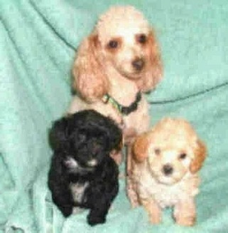 A tan toy poodle is sitting on a mint-green backdrop behind two Malti-poo puppies. One puppy is black with white and the other is tan and cream in color.