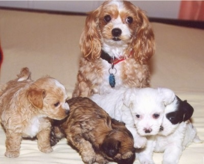 A tan with white Malti-Poo dog is sitting in front of its litter of four Malti-poo puppies. The puppies are tan and white, brown with black tipped, white and black and white.