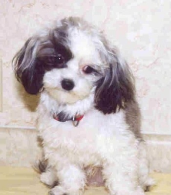 Malti Poo Dog Breed Pictures 1