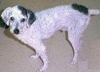 A white with black Malti-poo dog has its coat shaved short and is standing in a house and looking up