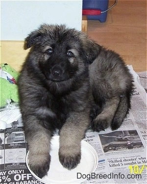 Front view - A black and grey Shiloh Shepherd puppy is laying on a stack of newspapers, its front paws are on a white plate, it is looking up and its head is tilted to the right.
