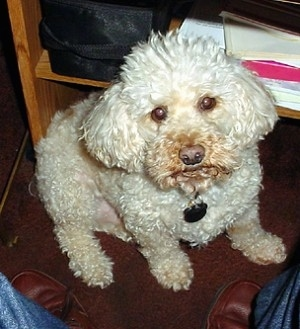 A white Miniature Poodle is sitting on a hardwood floor in front of a sitting person with a wooden book shelf behind it and looking up.