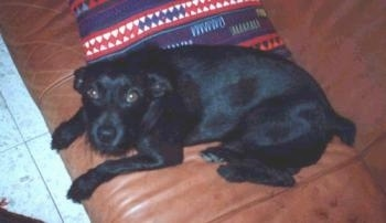 A black Miniature Pinscher is laying on a brown leather couch looking up. There is a blue, red and white throw blanket folded up behind it.