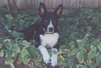 View from the front - A perk-eared, black with white Kelpie/Blue Heeler mix breed dog is laying in a pile of green leaves in a garden with a wooden fence behind it.