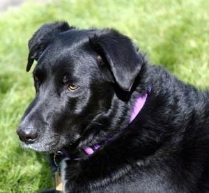 Close up side view head shot - A shiny-coated, black Labrador/Collie mix bree dog is laying in grass and it is looking forward.