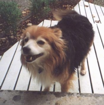 A medium-sized, longhaired, black, tan and white Australian Terrier/Border Collie mix breed dog is standing on a wooden deck in front of a door. Its mouth is open and it looks like it is smiling.