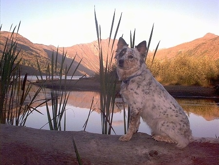 An Australian Shepherd/Blue Heeler mix is sitting on top of a fallen tree in front of a body of water with tall grass growing out of the water and mountains in the distance.