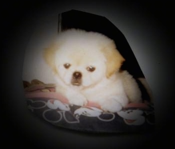 A fluffy tan Pekingese puppy is laying on a dog bed and it is looking forward.