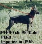 Peruvian Inca Orchid  (PIO) (Moonflower Dog) (Perro Flora) (Perro sin pelo del Perú) (Al'co Calato) (Peruvian Hairless Dog) - Hairless Dog