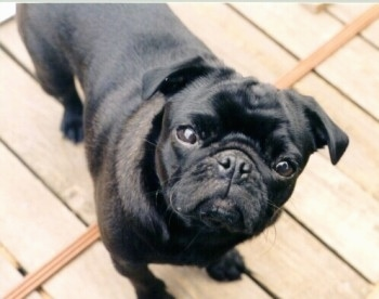 Pug Information and Pictures, Pugs, Carlin, Mops