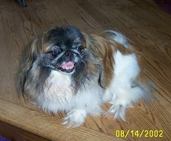 A white with brown and black Pekingese is sitting on a wooden step and it is looking to the left. Its mouth is open.