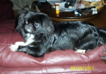 Left Profile - A black with white Pekingese is laying across a red leather couch.