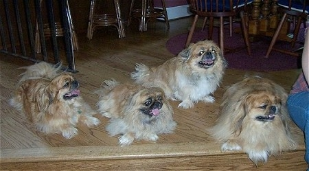Four brown with white and black Pekingese dogs are laying and sitting on a wooden step. There mouths are open and tongues are out. There is a person sitting on the step next to them.