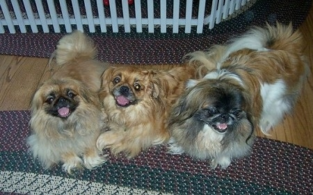 Three Pekingese dogs are laying on a rug, two of the Pekingese are looking up at the camera and the one on the right is looking to the right.