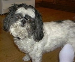 Side view - A white with black Lhasa Apso is standing in a kitchen with its head tilted to the right.