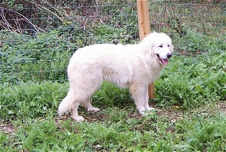 A Great Pyrenees is standing in front of a wire fence looking relaxed and happy with its tongue showing.