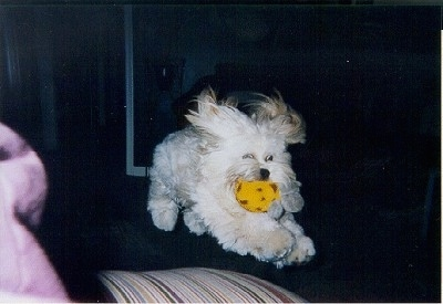 Quigley the Lhasa Apso coming down from a jump with a yellow toy in its mouth