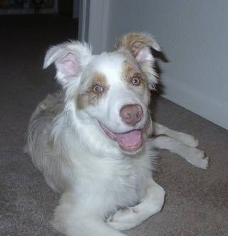 Skyler the Australian Shepherd laying on the carpet with its mouth open