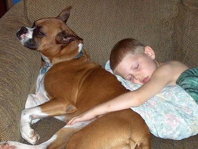 A brown with white Boxer is sleeping against the back of a couch and a boy is sleeping behind it. He has his arm on the side of the dog.