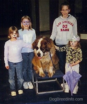 Four girls are surronding and touching the back of a brown with white and black Saint Bernard that is sitting on a stool, it is looking down, its mouth is open and tongue is out.