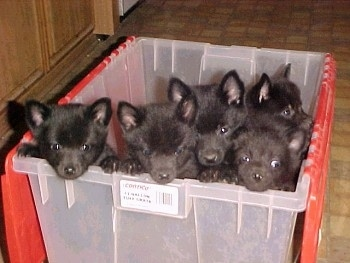 A litter of 5 Schipperke Puppies are in a clear plastic bin that has a red folding lid.
