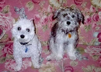 Two Schnoodles are sitting on a flower print couch and they are looking forward. The first dog is white and the second dog is gray.