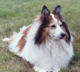 The front left side of a fluffy white with brown and black Shetland Sheepdog that is laying across grass and looking to the right.