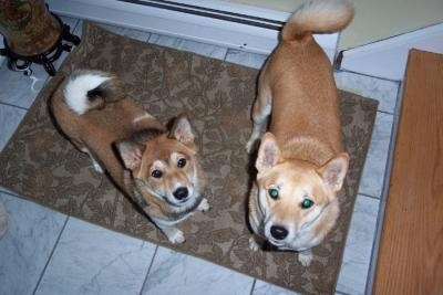 Shiba Inus  (Japanese Shiba Inus) (Japanese Small Size Dogs)