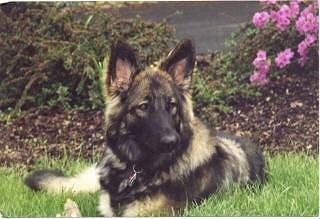 Close up front view - A fluffy black with tan Shiloh Shepherd dog laying in grass, in front of a flower bed and it is looking to the right.