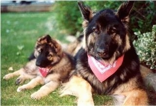 Close up of two dogs, a puppy and an adult dog both wearing red bandannas - A black with tan Shiloh Shepherd dog and a black with tan Shiloh Shepherd puppy laying against the bigger Shiloh Shepherd.