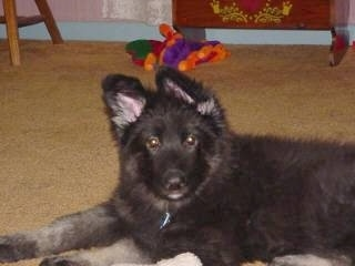 Close up - The left side of a fuzzy black with tan Shiloh Shepherd puppy that is laying across a carpeted surface and it is looking forward.