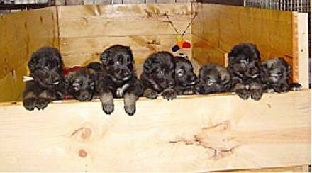 A litter of Shiloh Shepherd puppies are all lined up in a row against the wooden wall of their whelping box.