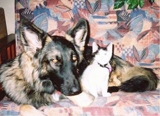 A black and tan Shiloh Shepherd dog with golden brown eyes is laying down on a chair and there is a cat sitting next to it. The dog's head is larger than the cat.