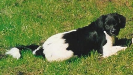 The back right side of a black and white Stabyhoun that is laying across a grass surface and it is looking forward. The dog has a long fluffy tail that is sticking out almost level with its body.