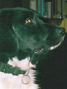 Close up - The right side of a black and white Stabyhouns face. The dog is wearing a black collar.