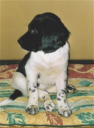 Front view - A small black and white Stabyhoun puppy is sitting on a bed and it is looking to the left. Its legs are white with black spots on them and its head and ears are black. It has black areas on its back.