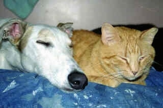Close up had shot - A white with tan Staghound dog laying next to an orange cat. They both are sleeping on a couch.