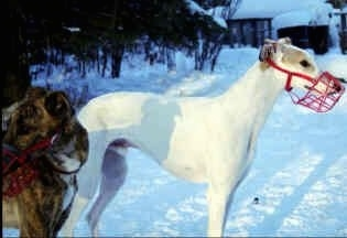The right side of a white with tan Staghound dog that has a red muzzle on and it is standing in snow. There is another Staghound standing in front it that is brown brindle with white in color.