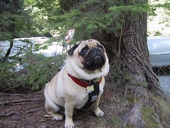 A thick, tan with black Pug is sitting at the base of a tree. It has wrinkles on its head and a lot of extra skin.