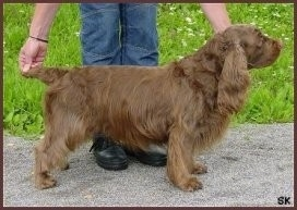 Right Profile - A Short brown Sussex Spaniel dog being posed on a gravelly surface in a show stack pose by a person. The person has there hands on the Sussex Spaniels tail and under its chin. The dog has long hairy ears.
