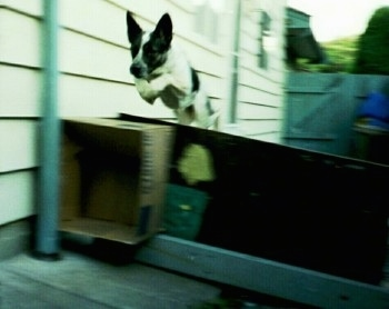 Sydney the Australian Blue Heeler is jumping over a wood board and a cardboard box